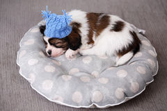 Puppy sleeps in a hat on a pillow Stock Photography
