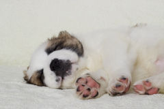 Puppy sleeps Stock Images