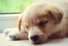 Puppy sleeps Royalty Free Stock Image