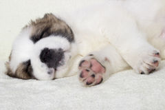 Puppy sleeps Royalty Free Stock Photos