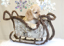Puppy sleigh ride. American cocker spaniel puppy going for winter sleigh ride Royalty Free Stock Images