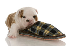 Puppy with slipper. English bulldog puppy sleeping with slipper - four weeks old Royalty Free Stock Photos