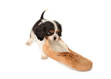 Puppy with slipper Stock Image