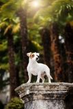 Puppy small dog breed Jack Russell Terrier royalty free stock images