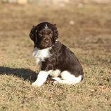 Puppy of Small Munsterlander Royalty Free Stock Photography