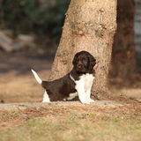 Puppy of Small Munsterlander Stock Image