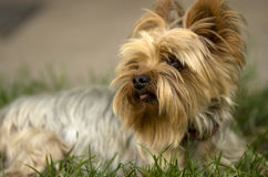 Puppy. Small Yorkshire terrier resting in the grass Royalty Free Stock Photography