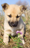 Puppy smelling pink flower Stock Image