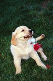Puppy smelling red flower. Royalty Free Stock Photo