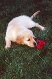 Puppy smelling red flower. Royalty Free Stock Photos