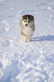 Puppy in sneeuw Royalty-vrije Stock Afbeeldingen