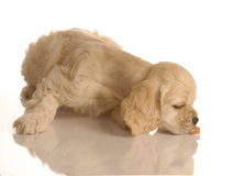 Puppy sniffing for food royalty free stock photo