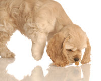 Puppy sniffing for food Stock Photo