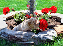 Puppy sniffing geraniums Royalty Free Stock Images