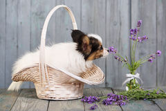 Puppy sniffing lavender Stock Photos