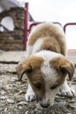 Puppy sniffing Royalty Free Stock Images