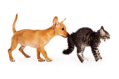 Puppy Sniffing Scared Kitten Stock Photography