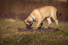 Puppy sniffs the grass on a walk. Cute small Puppy sniffs the grass on a walk Royalty Free Stock Photos