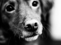 Puppy snout Stock Images