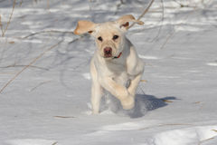 Puppy in the SNow. A Yellow Labrador Retriever puppy bounds joyfully through snow Royalty Free Stock Photography