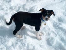 Puppy in the Snow. My Dog with 4 months royalty free stock photo