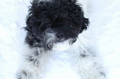 Puppy in the snow Royalty Free Stock Image