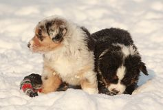 Puppy in snow Royalty Free Stock Image