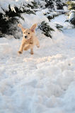 Puppy in Snow. Happy young dog running fast through the snow with his ears flapping from the speed Stock Images