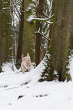 Puppy in snow. A young happy labradoodle dog running through the snow in the forest. Shallow dof Stock Photo