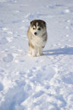 Puppy in snow. A cute puppy in snow royalty free stock images