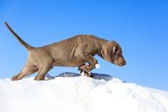 Blue puppy Stock Photo