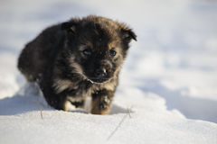 Puppy in the snow. Black brown puppy dog goes is in the snow Stock Photography