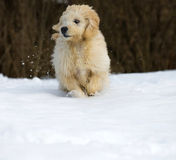 Puppy in the snow. Cute young labradoodle puppy playing in the snow stock photos