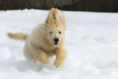 Puppy in the snow. Cute young labradoodle puppy playing in the snow royalty free stock image
