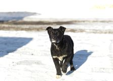 Puppy On Snow. A puppy, seems lost, standing on the snow. Outdoor shot royalty free stock image