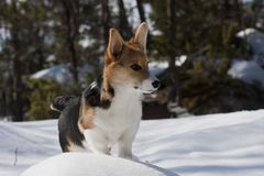 Puppy in snow. Welsh corgi puppy in snow stock image