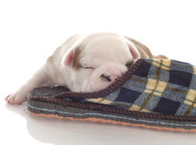 Puppy snuggling up with slipper Royalty Free Stock Photo