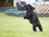 Puppy with soap bubbles Royalty Free Stock Images