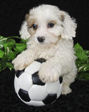 Puppy Soccer Player Stock Photo