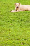 Puppy on soft grassland, welcome dog. Royalty Free Stock Photography