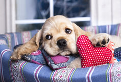 Puppy Spaniel  and valentine  heart Royalty Free Stock Photography