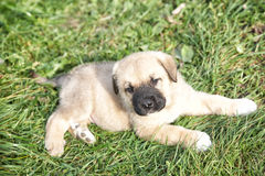 Puppy of the Spanish mastiff in the afternoon on the nature Stock Image