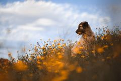 Puppy spanish mastiff in a field of yellow flowers royalty free stock photo