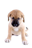 Puppy of the Spanish mastiff isolated Stock Photography