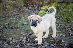 Puppy of the Spanish mastiff in square Royalty Free Stock Photography