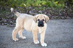 Puppy of the Spanish mastiff on walk in  autumn Royalty Free Stock Photography