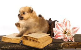 Puppy spitz and  book Royalty Free Stock Images