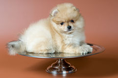 Puppy of a spitz-dog Stock Photo