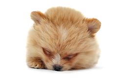 Puppy of a spitz-dog Royalty Free Stock Photo