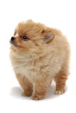 Puppy of a spitz-dog. Puppy of spitz-dog (Dwarf Spitz, a.k.a. Pomeranian). 2 months old Royalty Free Stock Photos